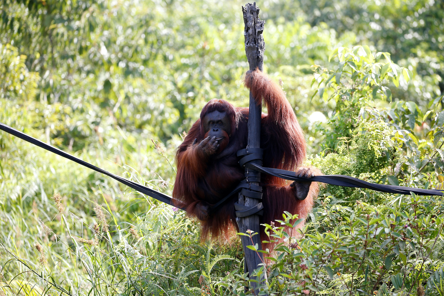 Fani, a 15-year-old orangutan, hangs on a pole at the Orangutan Rehabilitation and Reintroduction site of the Borneo Orangutan Survival Foundation in East Kalimantan province of Indonesia. (Reuters Photo)