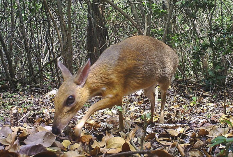 A silver-backed chevrotain is captured by camera trap in an undisclosed forest in south central Vietnam on June 21, 2018. The species, commonly known as Vietnamese mouse deer, was rediscovered after 30 years. (AP photo)