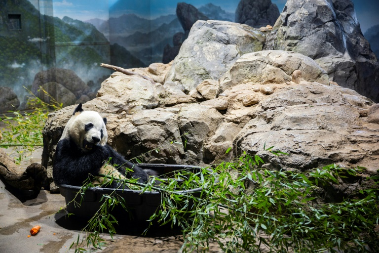 Bei Bei munches bamboo in his enclosure at the National Zoo in the US capital ahead of his long flight to China.
