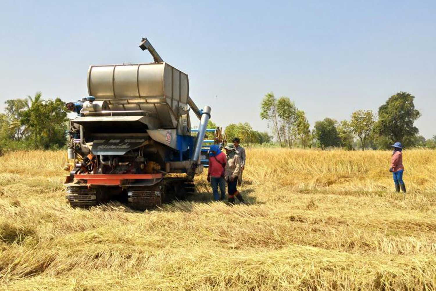 Rice farmers harvest in Surin province. The declining export of rice plays a part in the country's 4.5% export drop in October, according to the Commerce Ministry. (File photo by Nopparat Kingkaew)