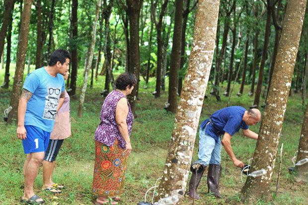 Growers check trees on their rubber plantation in Muang district of Trang province. (File photo by Methee Muangkaew)