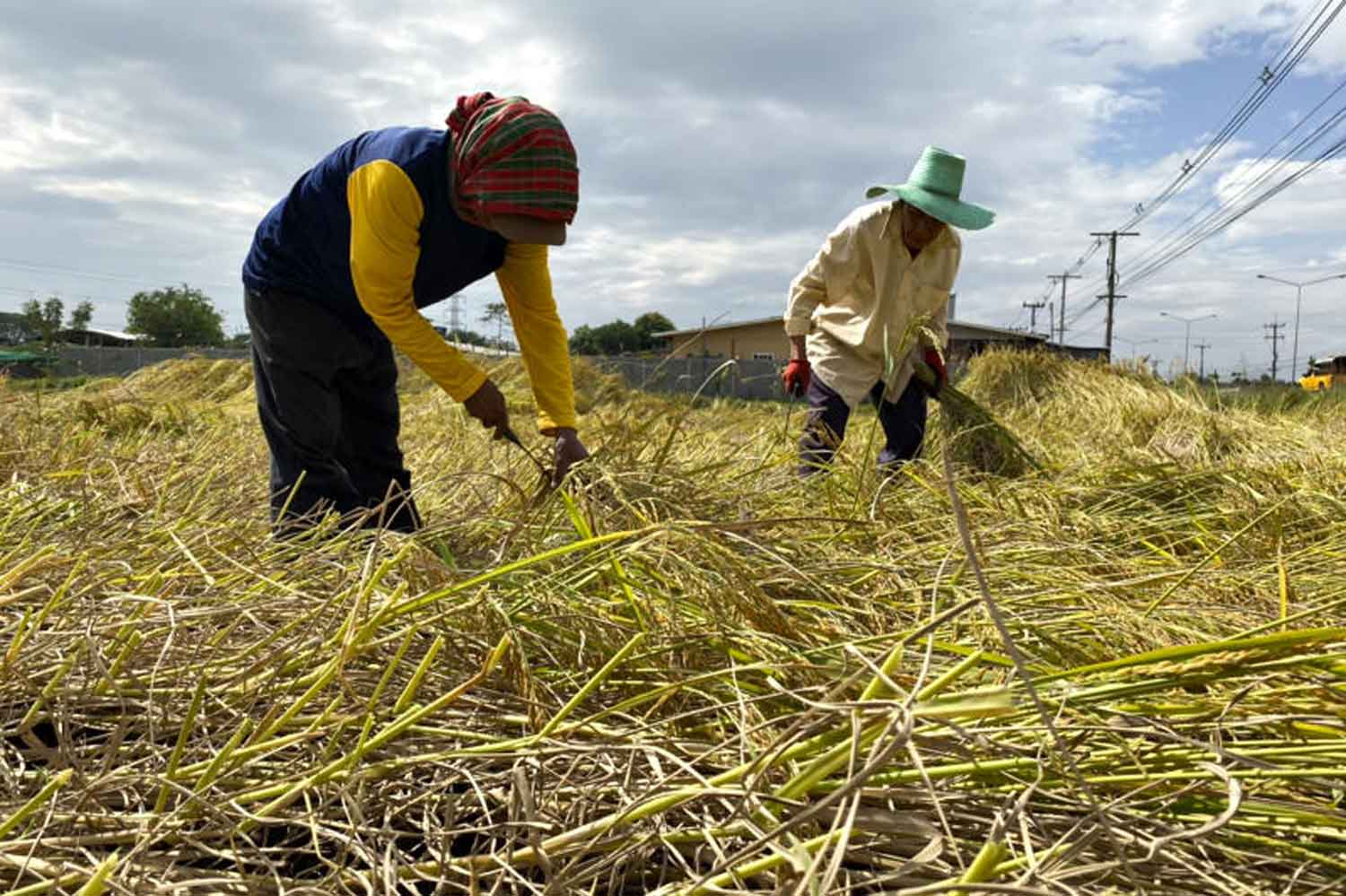 Rice growers are the target of new economic stimulus measures. (File photo by Yongyuth Phuphuangphet)