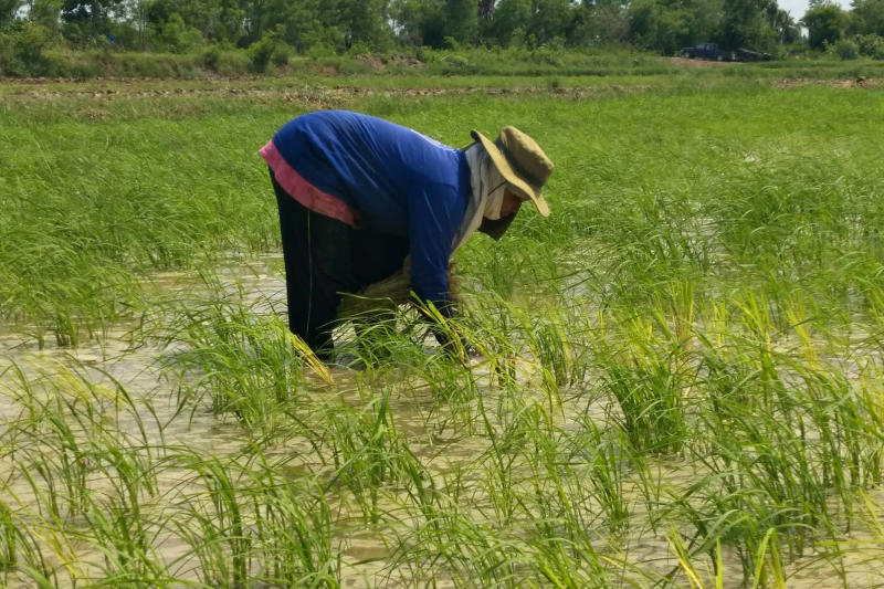 Farmers has stuck to its old varieties such as Thai Hom Mali and Pathum Thani 1 and has not created any new strains for a long time. (Bangkok Post file photo)