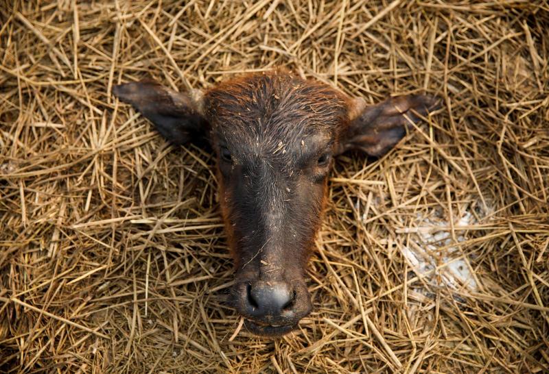 A head of a sacrificed buffalo lies on the ground a day after the sacrificial ceremony of the