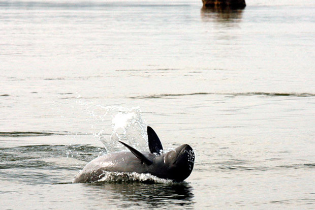 An Irrawaddy dolphin traverses the Mekong River in Cambodia. (Khmer Times photo)