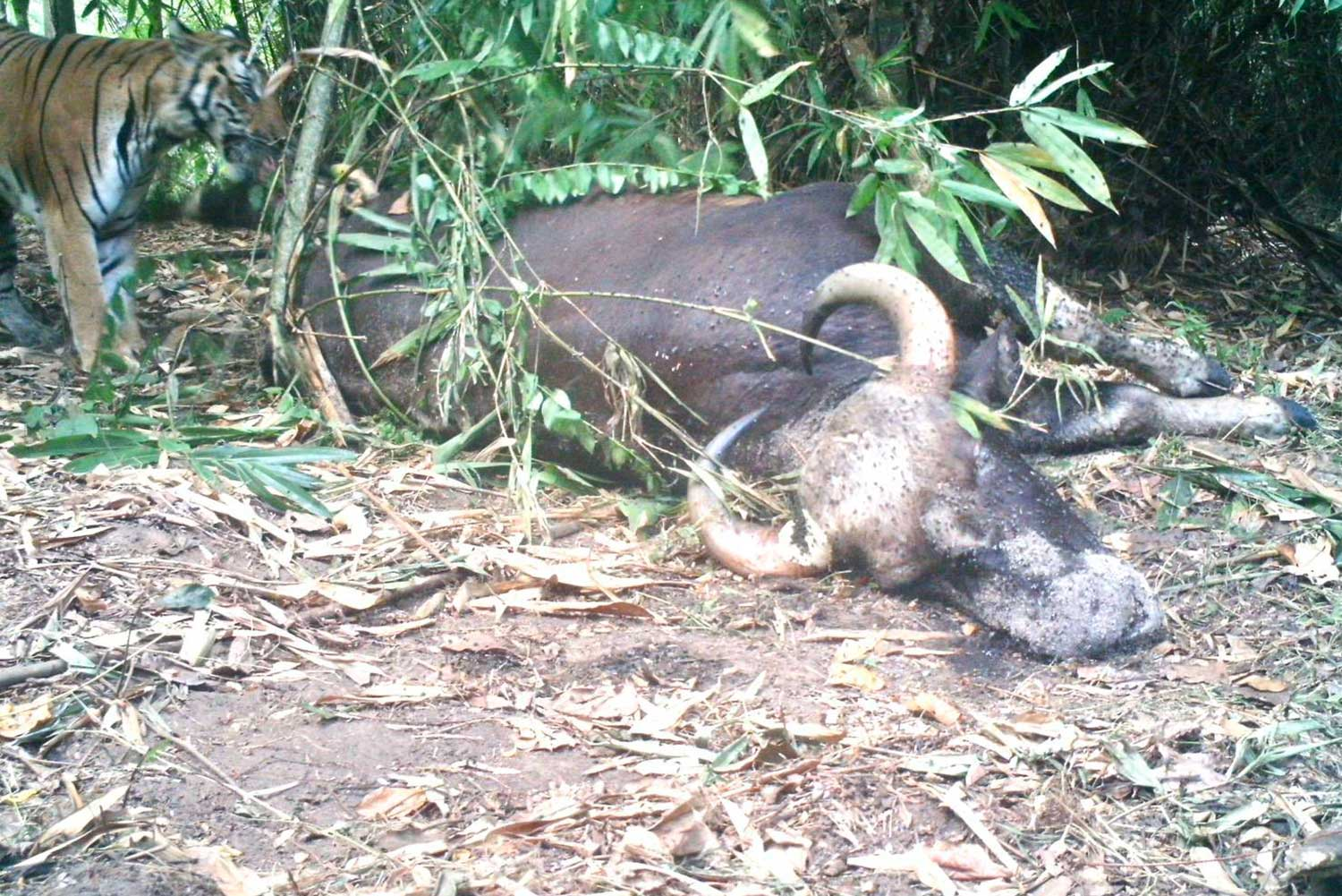 A male Bengal tiger, left, approaches the carcass of a female gaur it killed in Mae Wong National Park. The dead gaur was found on Sunday. (Photo from a camera trap)