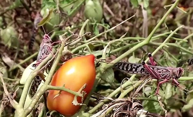 New swarm of locusts brings devastation in Kenya