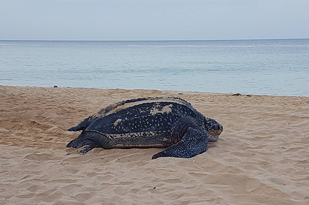 The leatherback turtle seen laying 104 eggs at Ban Nai Thorn beach in Thalang district in Phuket on Friday morning. (Photo by Achadtaya Chuenniran)