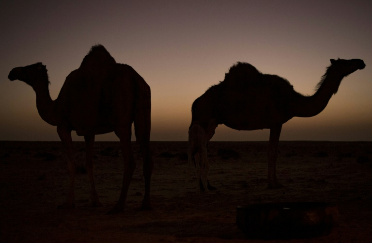 Camels were first introduced to Australia in the 1840sto aid in the exploration of the continent's vast interior, with up to 20,000 imported from India in the six decades that followed.