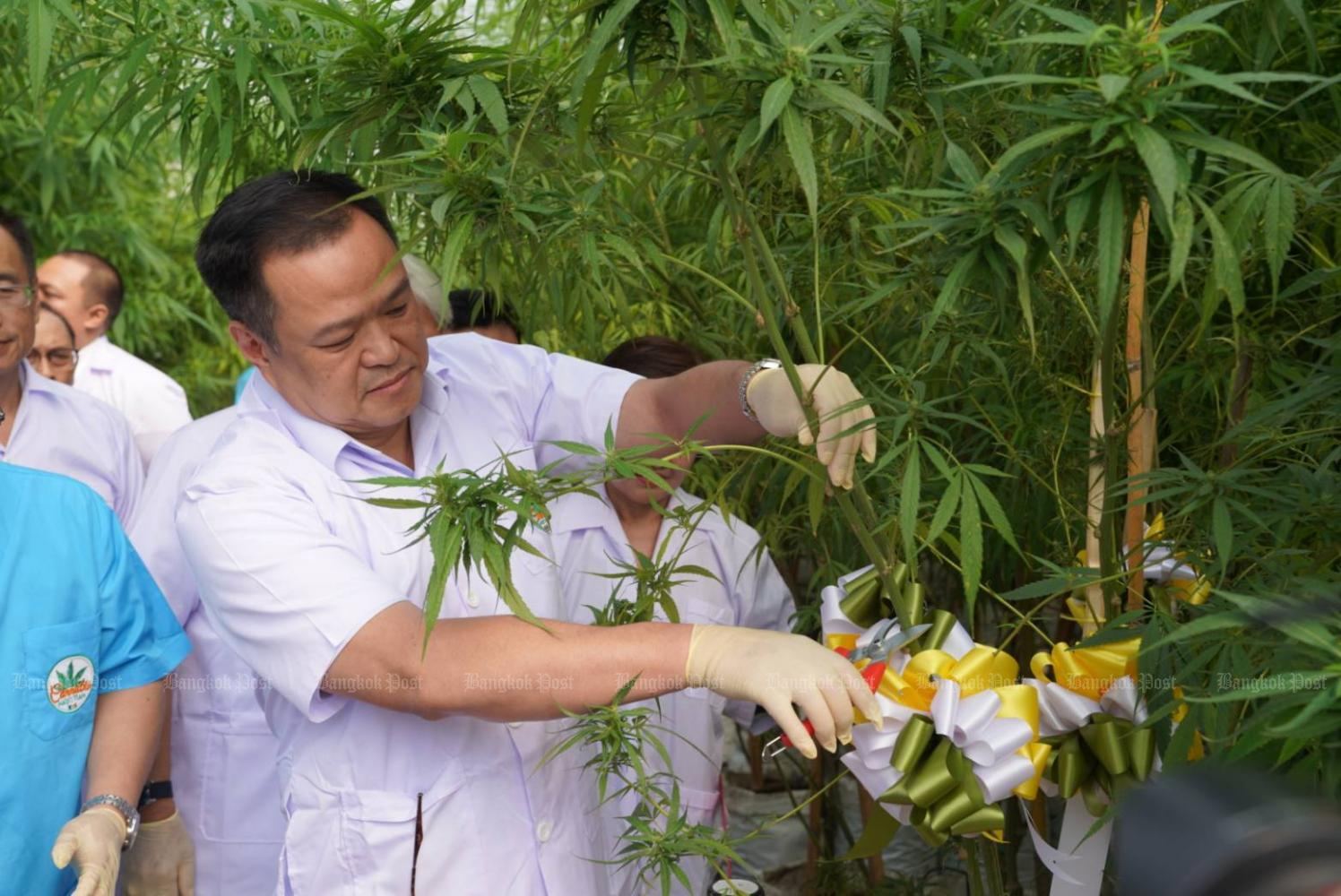 Public Health Minister Anutin Charnvirakul harvests the first marijuana flower planted in a closed-system farm run by Maejo University in Chiang Mai's San Sai district. (Photo by Onnucha Hutasingh)