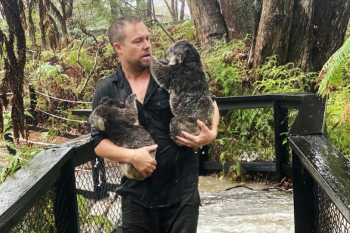 Fires, then floods: How much can a koala bear? - Bangkok Post