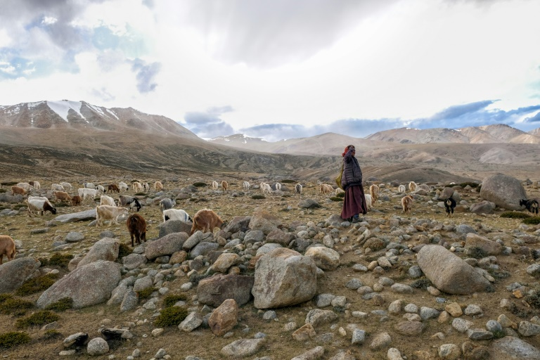 A nomad shepherd in the Changtang region of Ladakh in northern India tends to goats that produce pashmina wool -- a livelihood the Changpa people have relied on for centuries