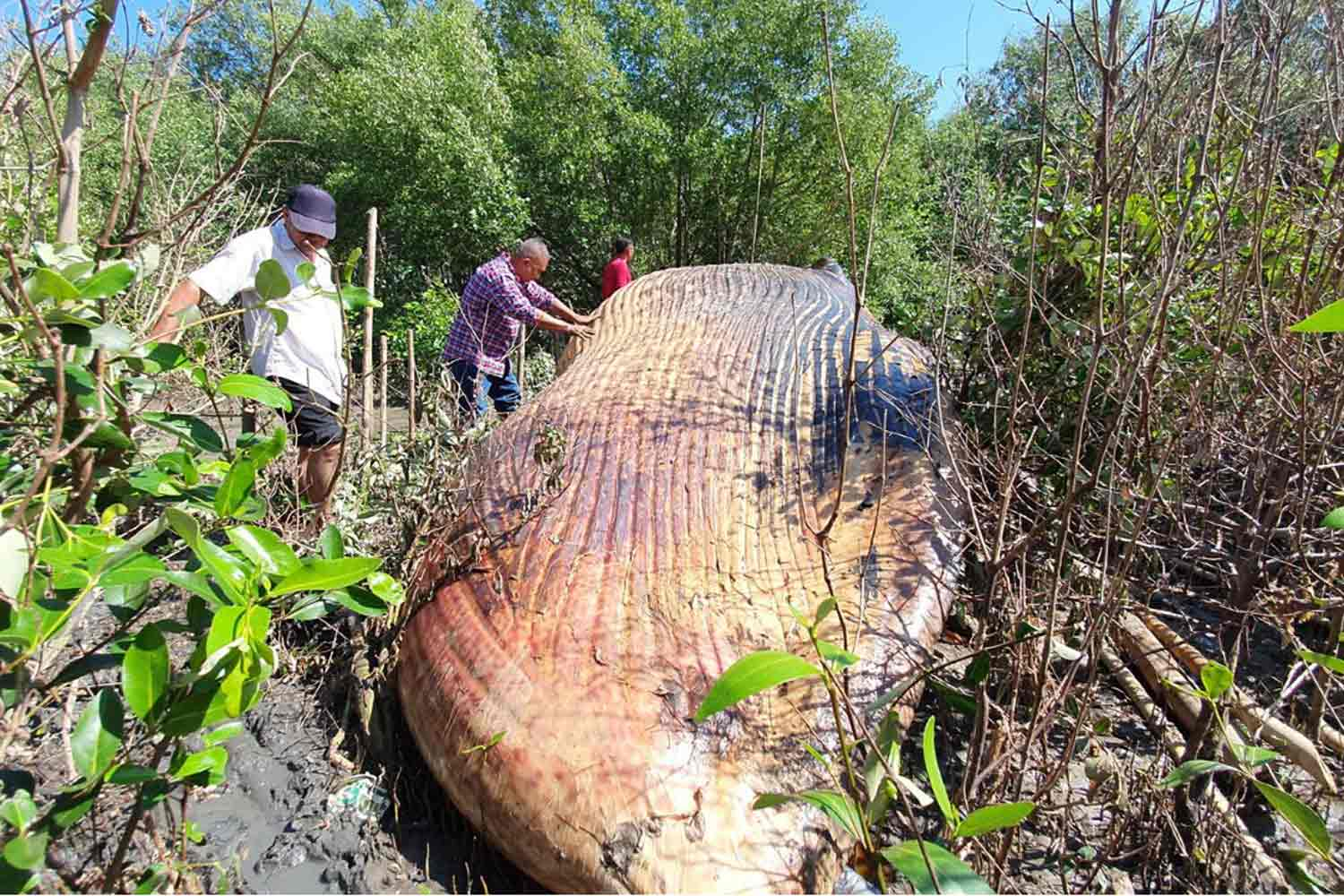 Officials from a marine and coastal resources research centre examine the dead Bruda whale washed ashore in the mangrove forest at Bang Poo, Samut Prakan. (Photo by Sutthiwit Chayutworakan)