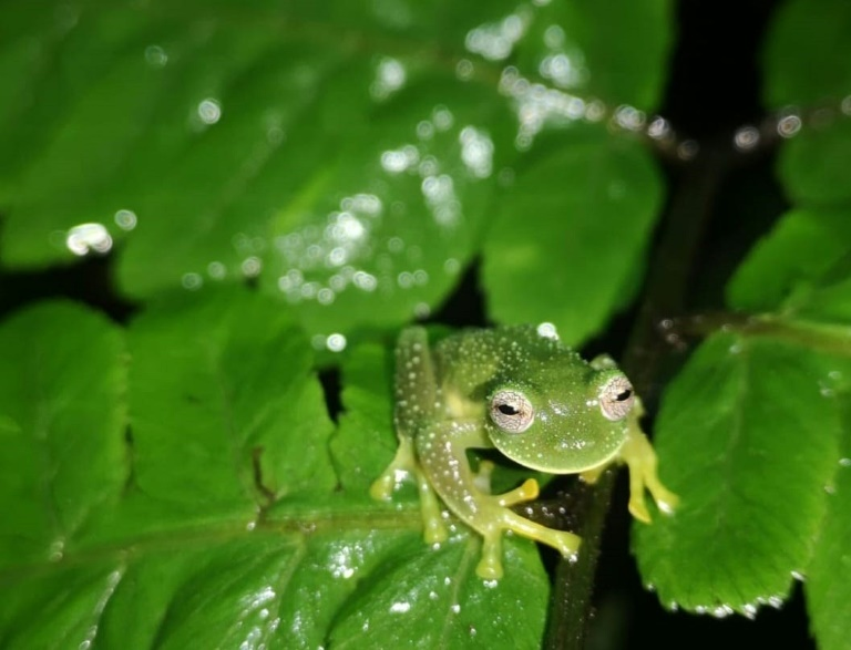 The Bolivian Cochran frog is a species of glass frog native to Bolivia and notable for its transparent belly