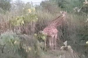 Giraffe escapes from truck