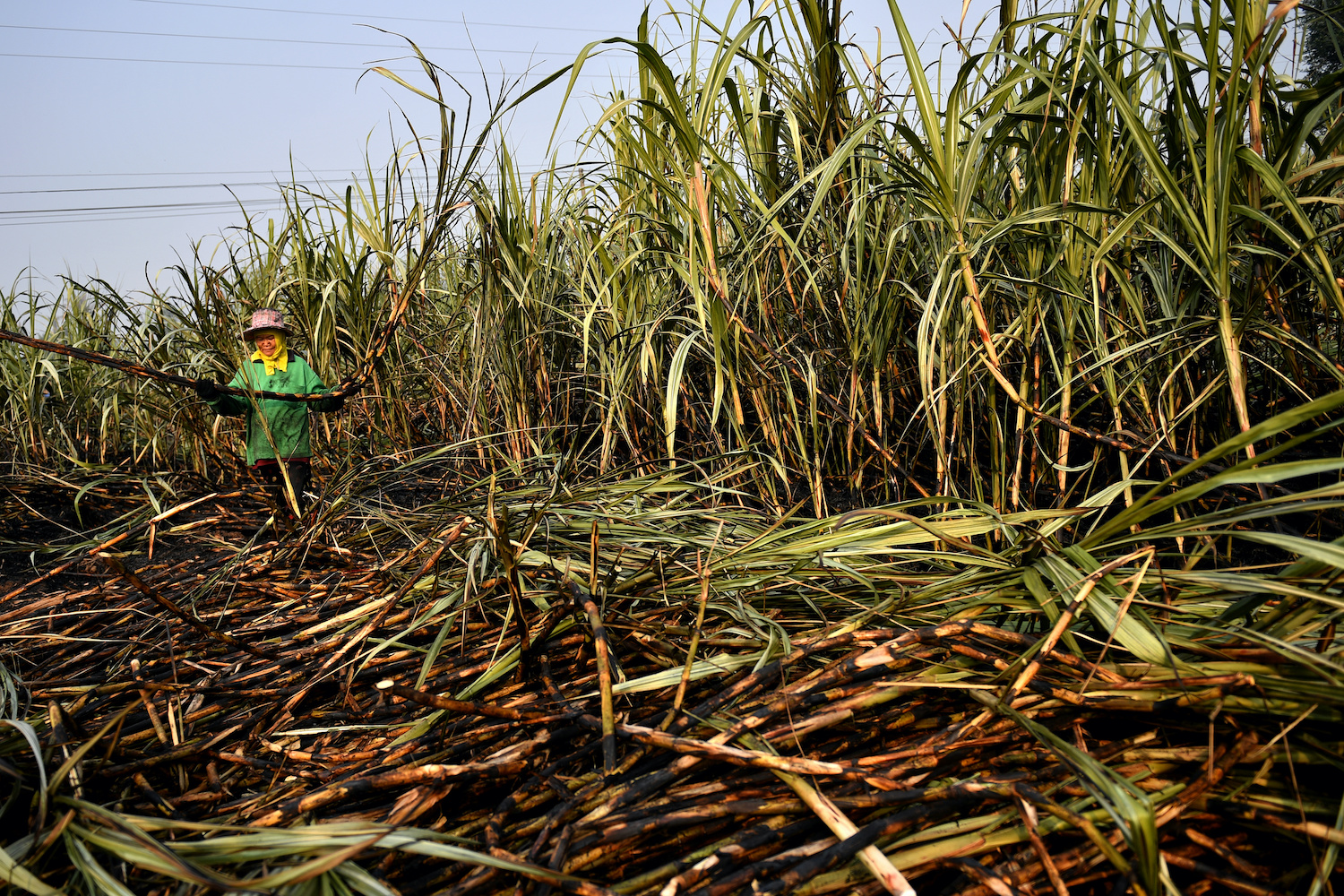 A sugarcane farmer works in a burnt field, a practice that authorities have been attempting to ban in order to reduce pollution, in Suphan Buri. (Reuters Photo)