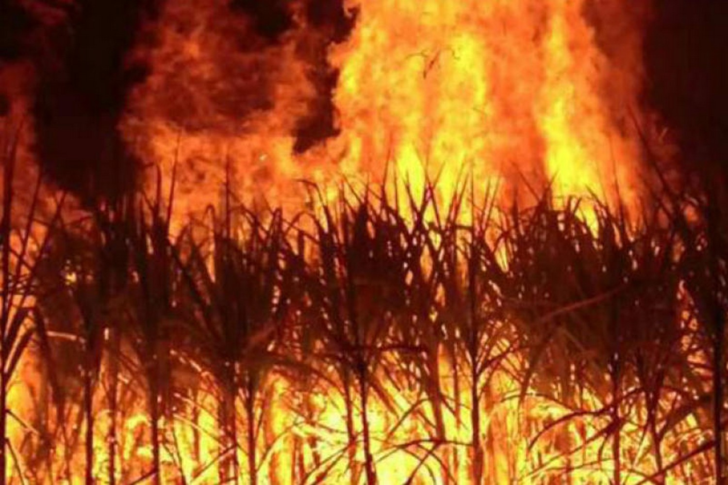 Farmers burning off sugar cane is a major contributor to air pollution. (File photo)