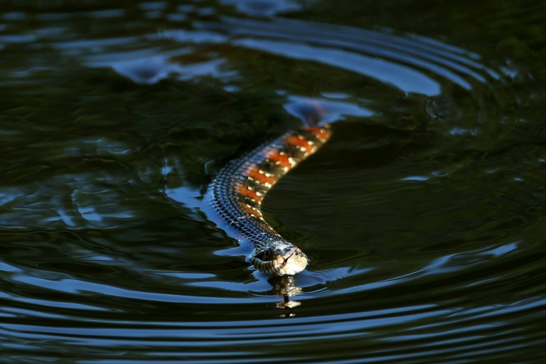 One resident said he saw around 25 Florida water snakes gather at a park in Lakeland, southwest of Orlando
