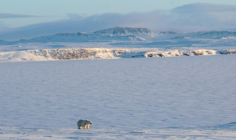 Cases of polar bear cannibalism on the rise as Arctic melts