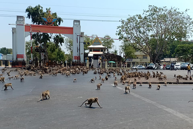 Monkeys from two rival gangs prepare for combat in Muang district of Lop Buri on Wednesday. (Photo from Sasaluk Rttanachai Facebook account)