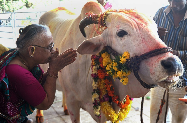 Many in India, a Hindu-majority nation of 1.3 billion, consider cows sacred and believe drinking cow urine is a panacea for all manner of ailments