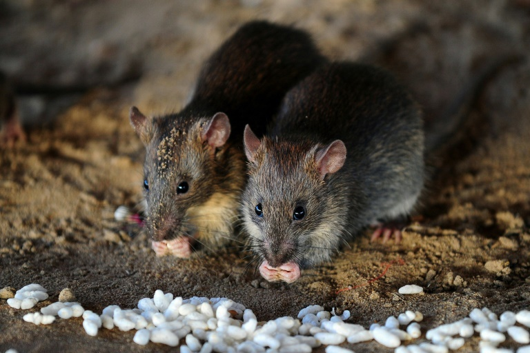 Scientists are learning more about how social animals such as rats identify