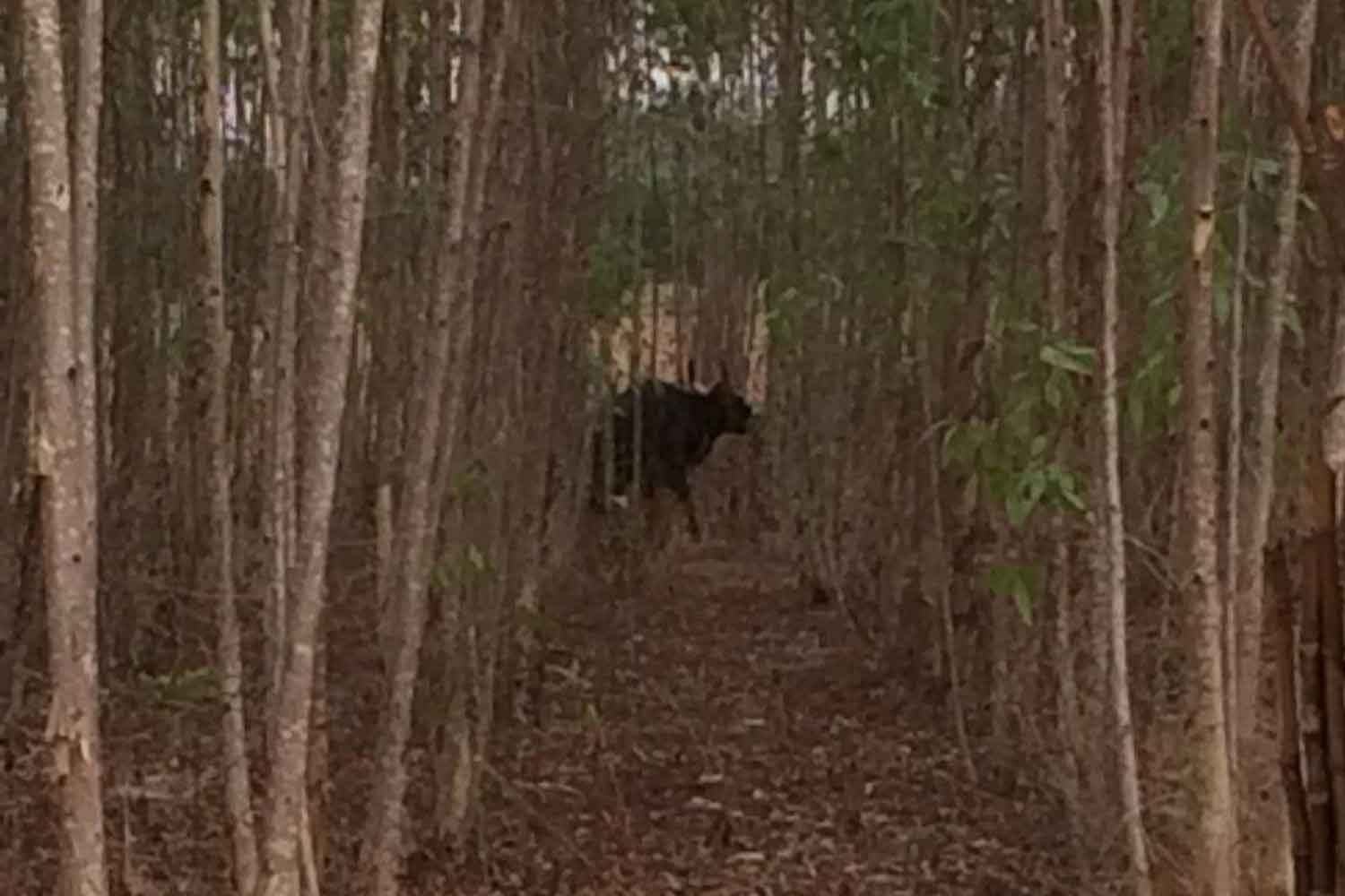 The 7-year-old male gaur, spotted in a eucalyptus plantation before it attacked two men  passing by on a motorcycle, injuring one of them. (Photo: Prasit Tangprasert)