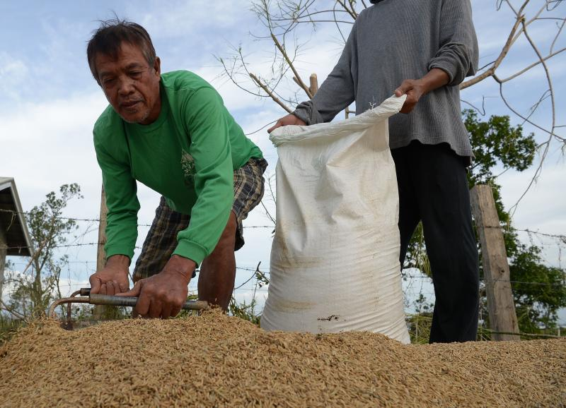 A farmer scoops rice grains in Alcala, Cagayan province, Philippines on Sept 16, 2018. (AFP file photo)