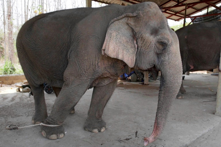 With global travel paralysed the animals are unable to pay their way, including the 300 kilogrammes of food a day a captive elephant needs to survive. (AFP photo)
