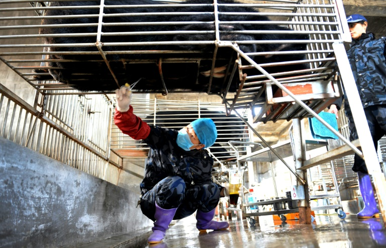 Chinese workers collect bile from a caged bear at a farm in Fujian province. Beijing is promoting the use of bear bile to treat coronavirus patients but it has no proven effectiveness