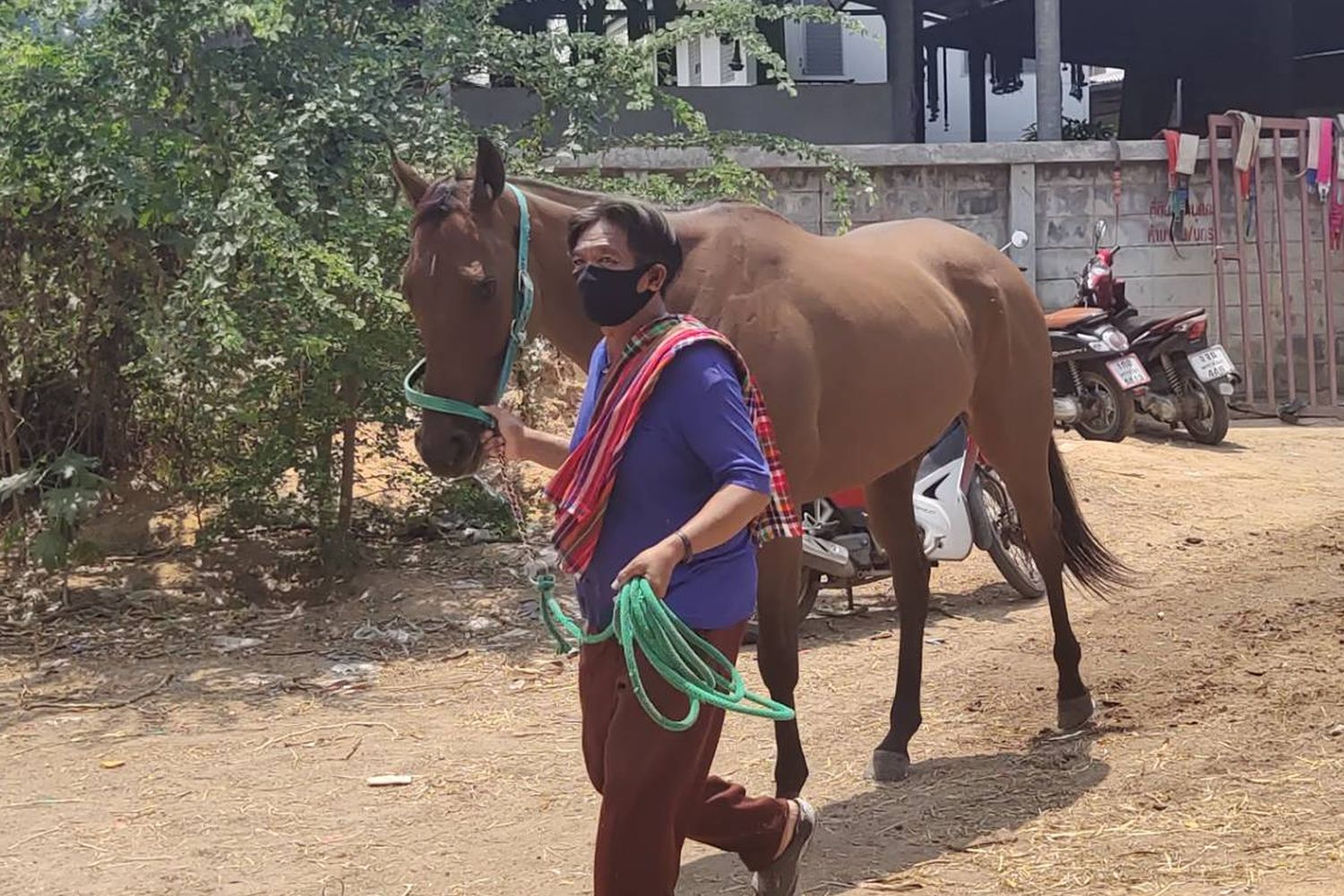 A horse is taken back to a farm in Pak Chong district in Nakhon Ratchasima. So far, a total of 146 horses at farms in this district have been killed by African horse sickness. (Photo by Prasit Tangprasert)