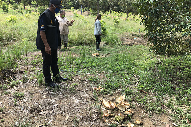 Bamphen Prueksanit (left), the kamnan of tambon Sator in Khao Saming district of Trat, looks at durian rinds left by three wild elephants after they raided the orchard of Siriphat Sangkhawan (right) on Saturday night. (Photo by Jakkrit Waewkraihong)
