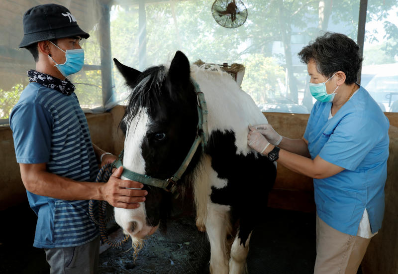 Veterinarian Aree Laikul from Kasetsart University's Faculty of Veterinary Medicine vaccinates a horse amid an outbreak of the deadly African Horse Sickness (AHS), at Farm Mor Por stable in Khao Yai National Park, Nakhon Ratchasima, on Monday. (Reuters photo)