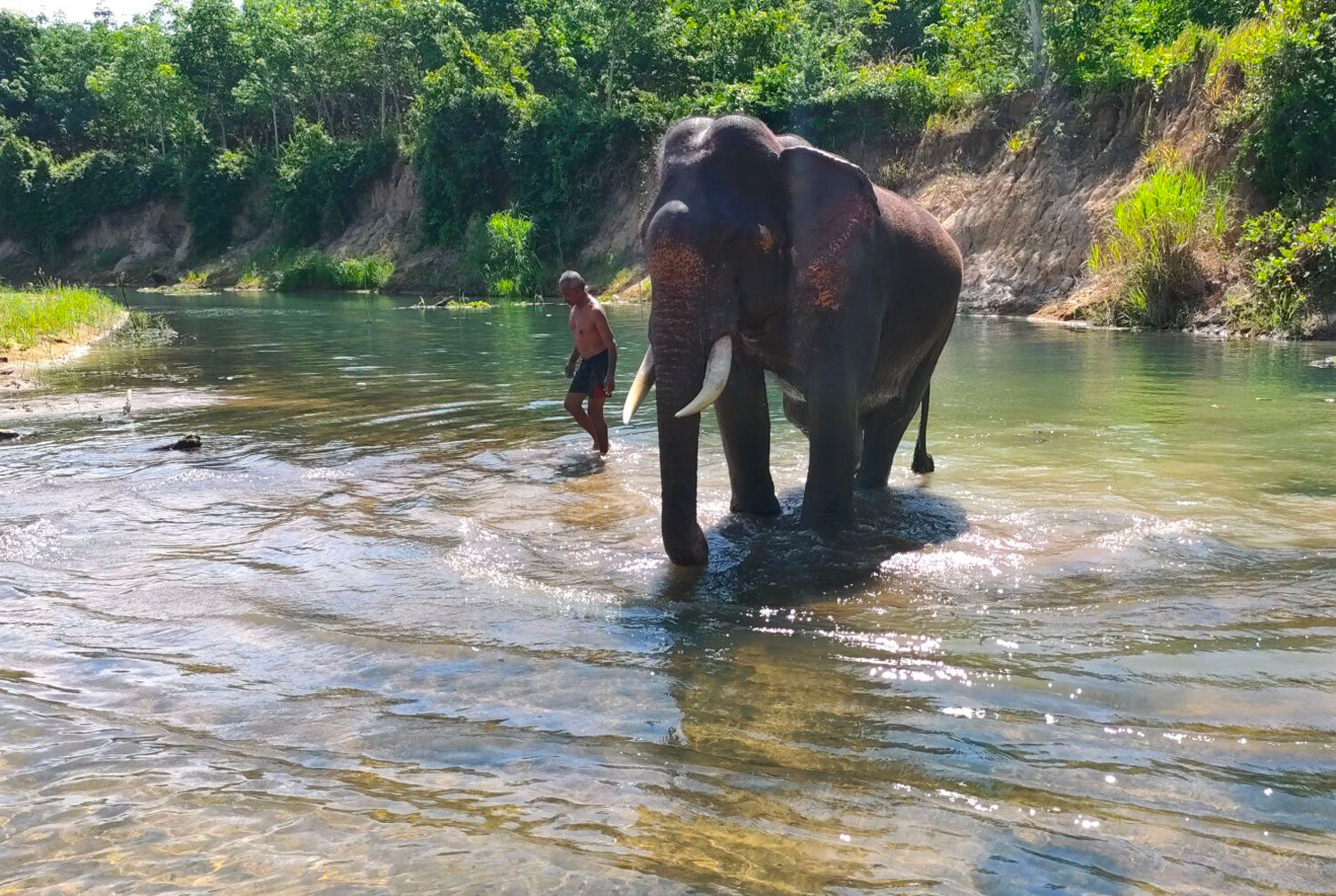 An elephant takes a bath in the Trang River. Many elephants and their mahouts that normally work the tourist circuit in  Phuket, Krabi and Phangnga provinces have returned  to Trang and Phatthalung. (Photo: Methee Muangkaew)
