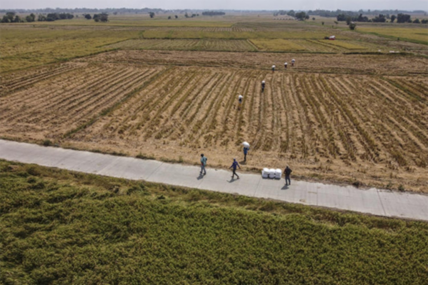 Farmers carry sacks of harvested rice through a paddy field in this aerial photograph taken in San Leonardo, Nueva Ecija, the Philippines, on Thursday. (Bloomberg photo)