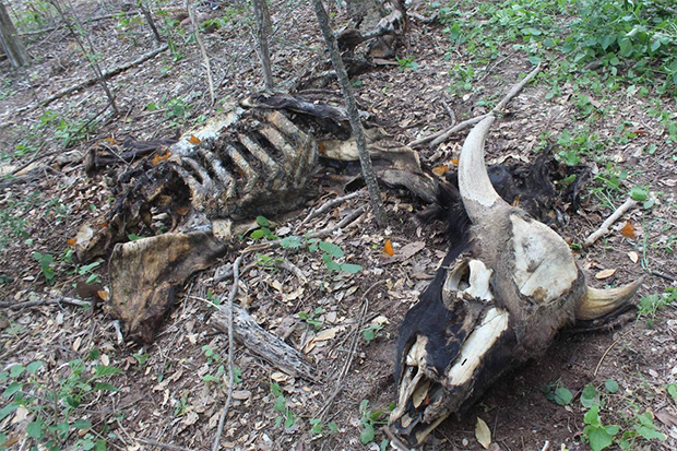 The carcass of a gaur is found in a forest in Wang Nam Khieo district of Nakhon Ratchasima province on Sunday. (Photo by Prasit Tangprasert)