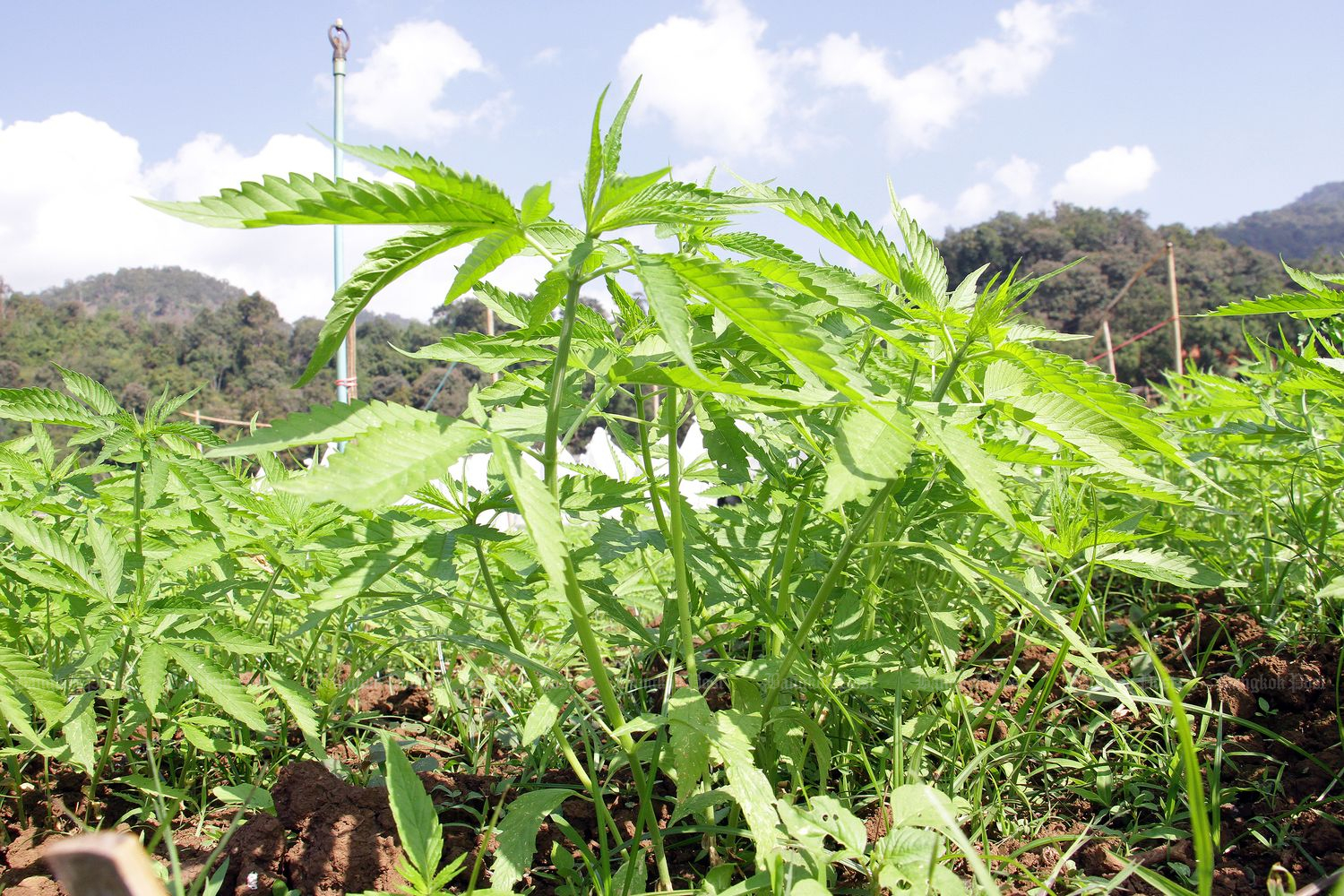 Hemp is grown in a demonstration field at Pangda agricultural station in Samoeng district, Chiang Mai province, on Jan 21. (Photo by Tawatchai Kemgumnerd)