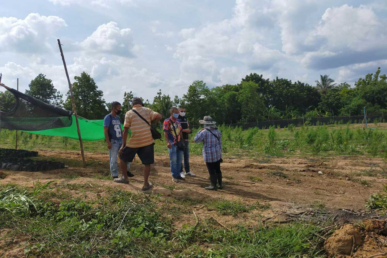 Police and local officials raid an illegal marijuana farm near the Pang Sida National Park in Watthana Nakhon district, Sa Kaeo. A 46-year-old man who admitted growing the 1200 plants was caught and charged. (Photo: Sawat Ketngam)