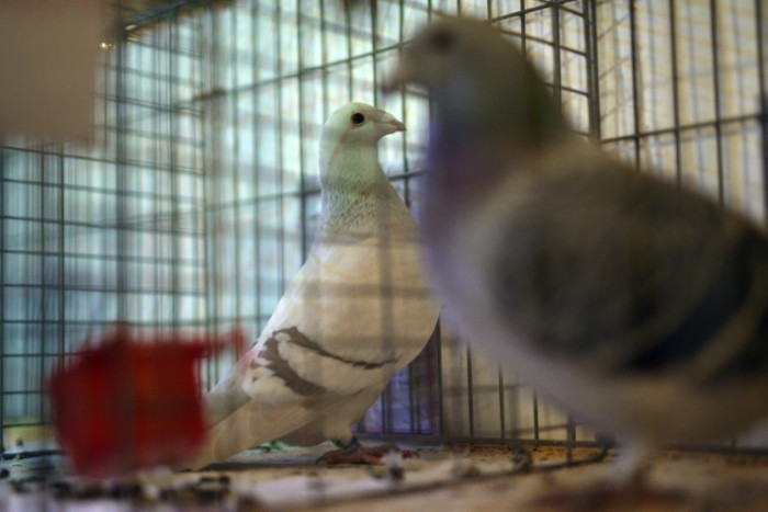 Pigeon racing beats snooker to the sporting start line in England