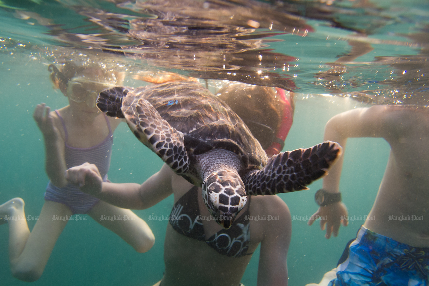 """In an image from 2016, a juvenile Hawksbill sea turtle that had been raised in a """"head start"""" programme swims out toward the open sea after being released by young volunteers from the local community group on Koh Tao in Surat Thani. (Bangkok Post File Photo)"""
