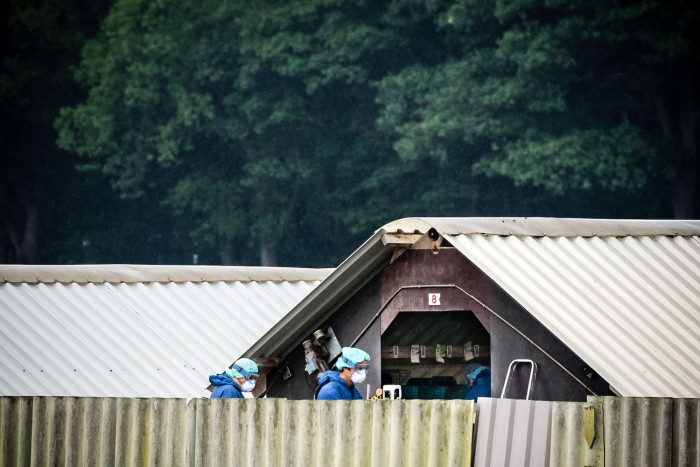 Dutch cull minks linked to virus