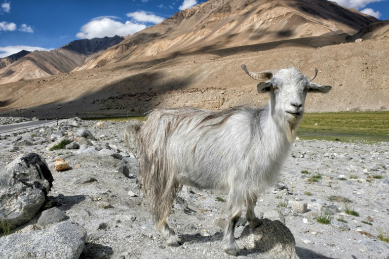 Wool from pashmina goats, reared by nomads in Ladakh, is the most expensive and coveted cashmere in the world.