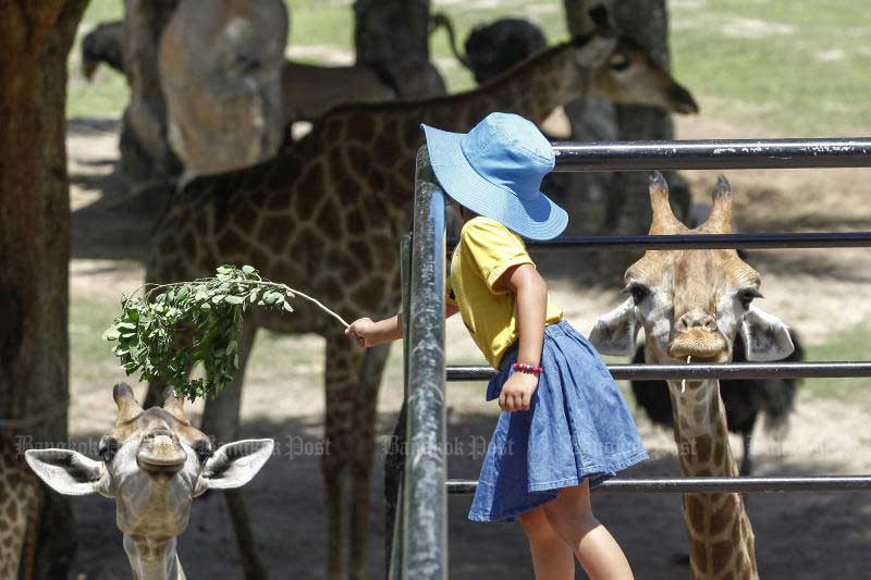 A girl feeds a giraffe at Khao Kheow Open Zoo in Chon Buri during a press conference on Friday. (Photo by Pattarapong Chatpattarasill)