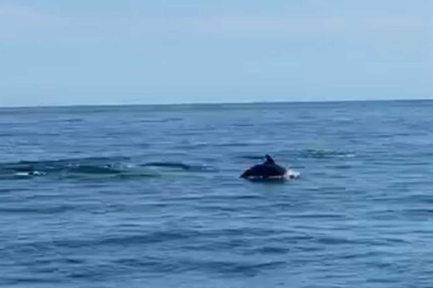 One of the 20 dolphins spotted near Koh Tao breaches the water surface on Saturday. (Photo by Ao Chayachon via Supapong Chaolan)