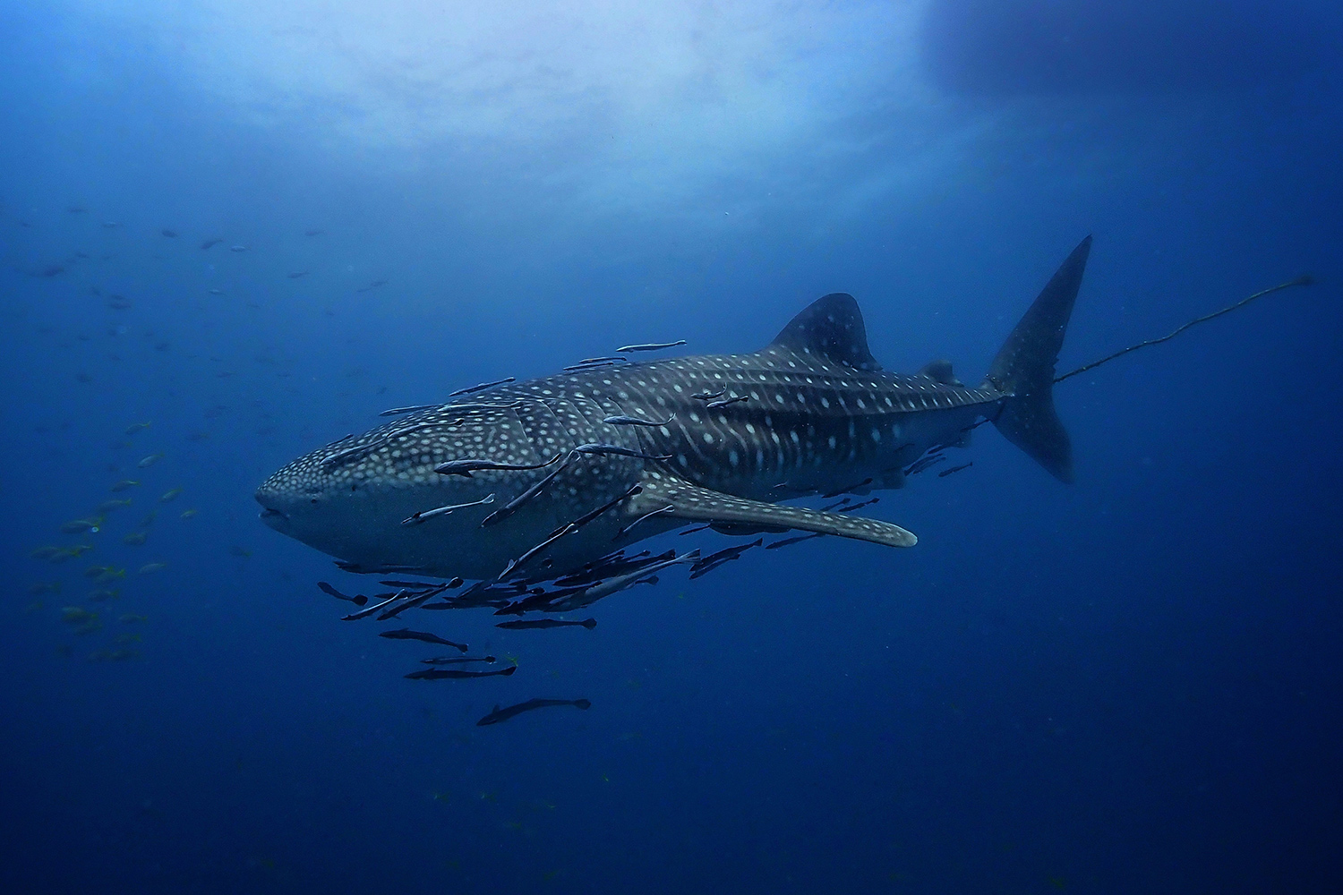 A whale shark is spotted between Koh Tao and Koh Phangan in the Gulf of Thailand. (Photo by Ban's Diving Koh Tao)