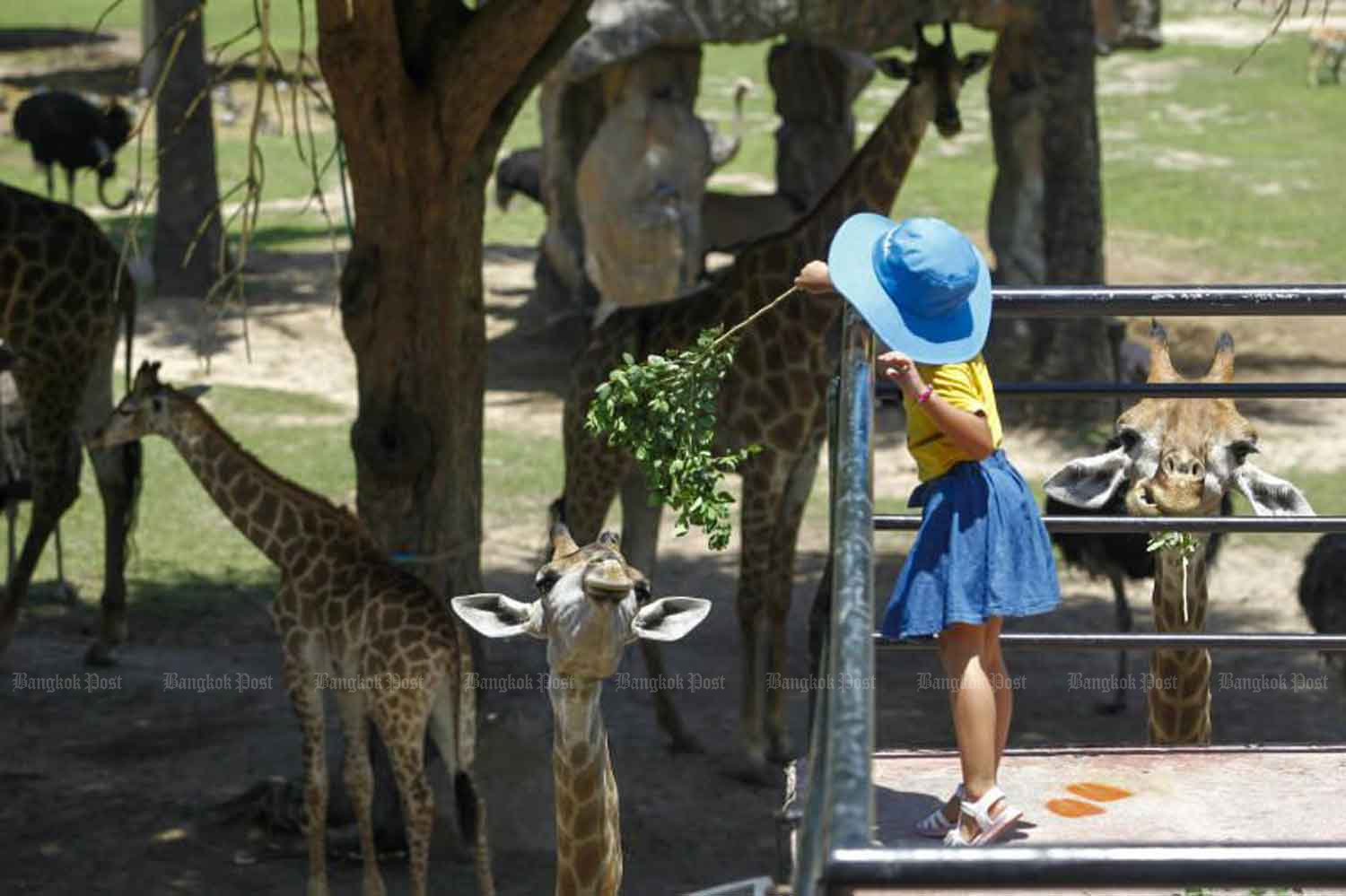 A girl feeds a giraffe at Khao Kheow in Chon Buri's Si Racha district last Friday after the zoo reopened. (Photo: Pattarapong Chatpattarasill)