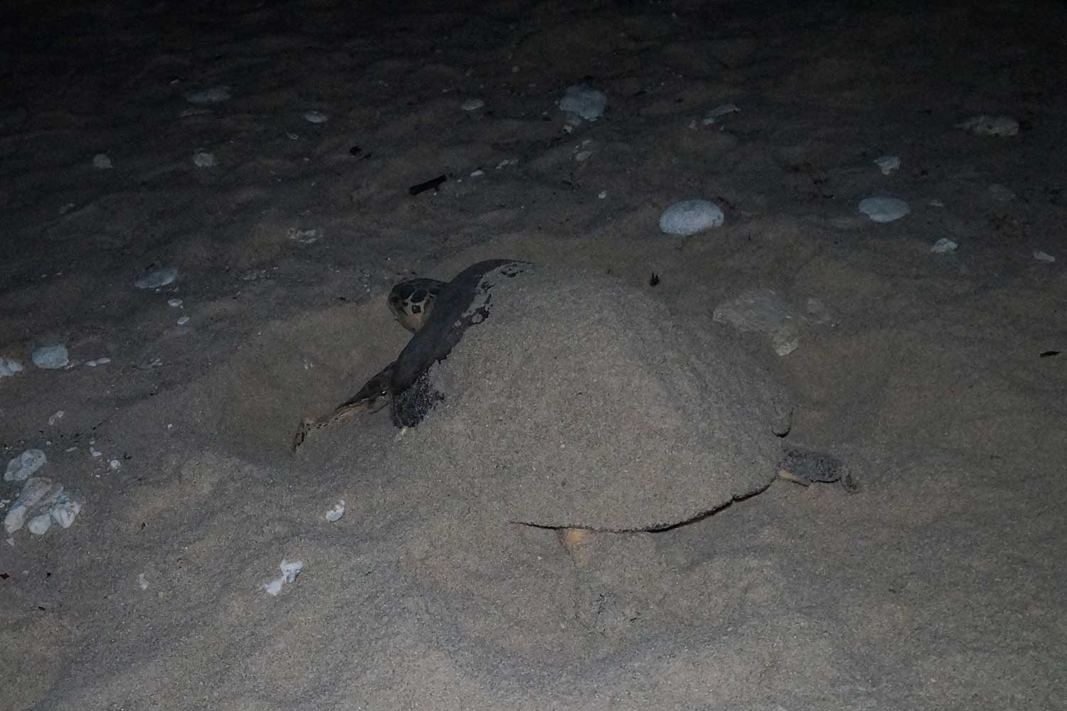 A sea turtle which had already laid eggs four times this year is spotted nesting for a fifth time, on Ao Thong Nan beach in tambon Mared of Koh Samui, on Monday night. (Supplied photo via Supapong Chaolan)