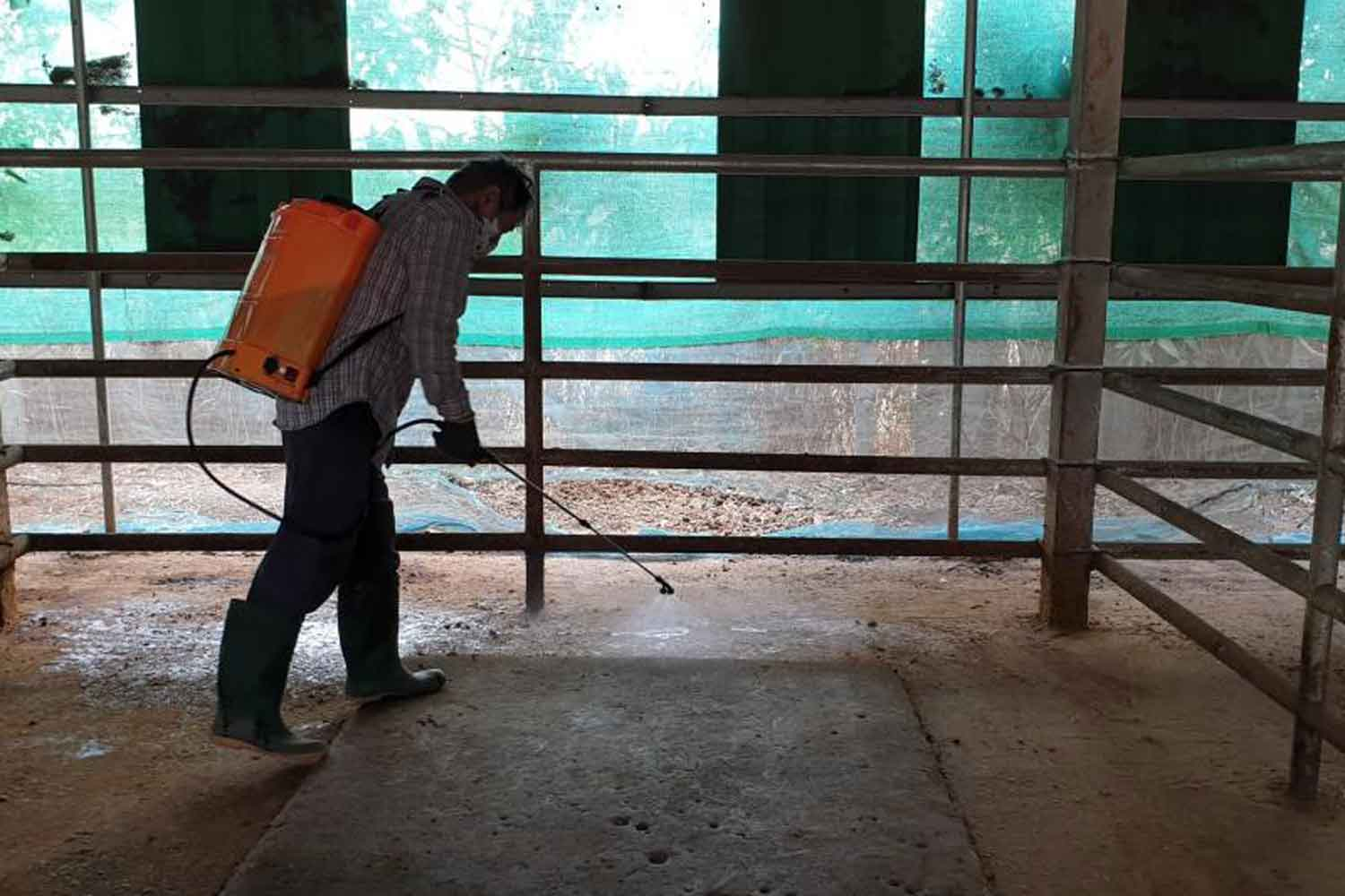 A worker sprays wood vinegar in a private stable in Chai Nat to protect horses from insects. (Photo by Katesuda Meteeviwat)