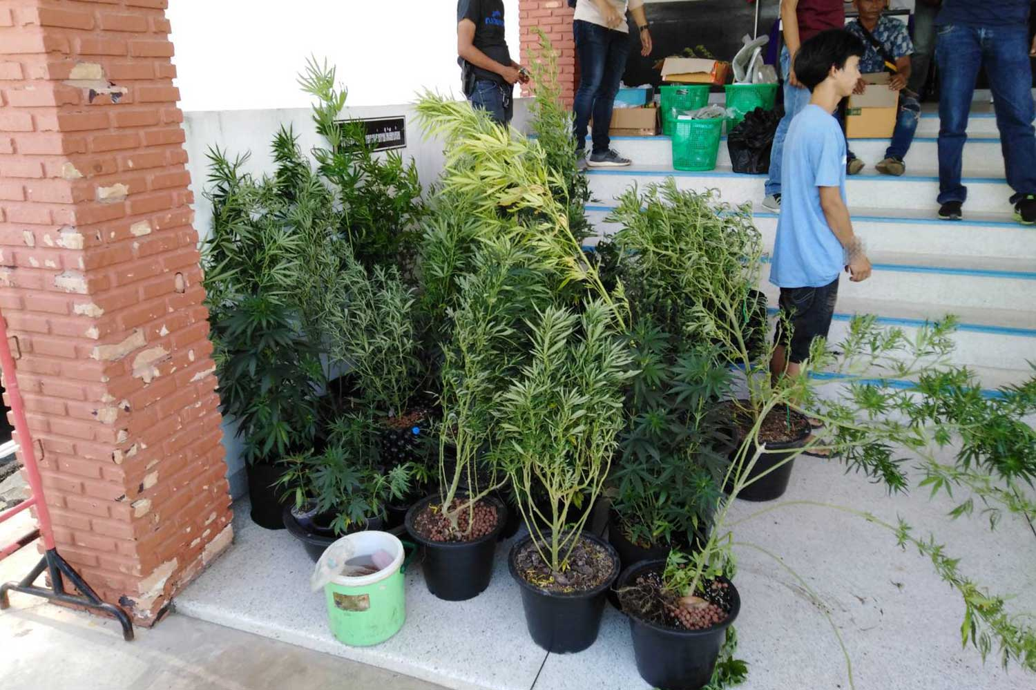 A total of 41 marijuana plants were seized from the house of a 24-year-old man in Nakhon Si Thammarat during a police raid. (Photo supplied via Wassayos Ngamkham)