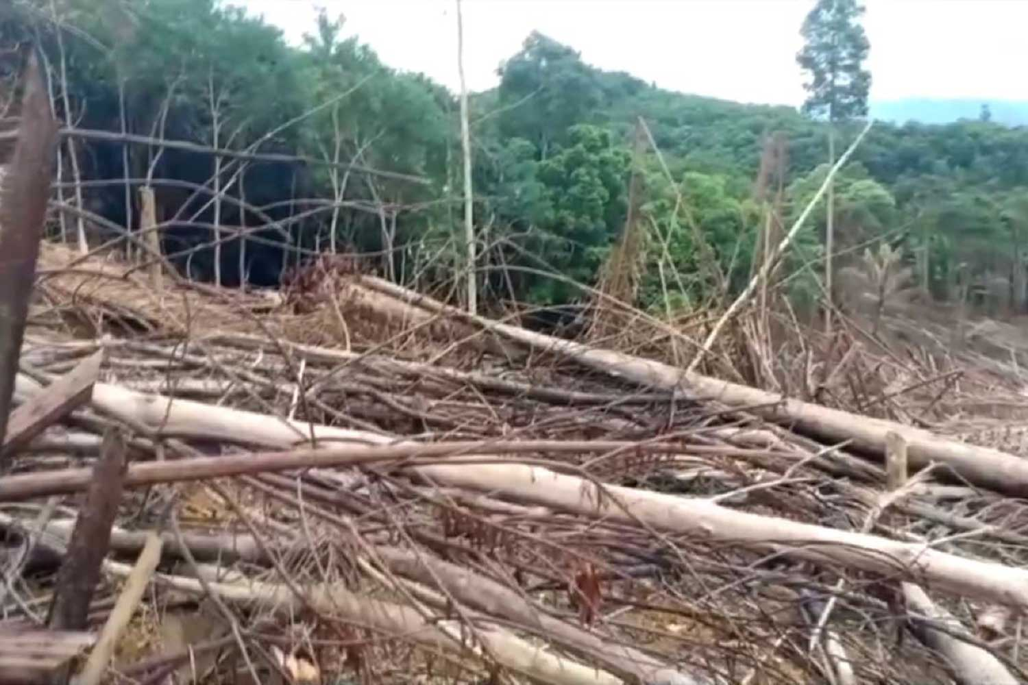 Trees felled in an encroached area of forest on Sankalakhiri mountain in Chanae district of Narathiwat province. (Photo: Waeda Harai)